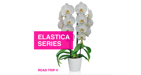 Floricultura introduces the Phalaenopsis Elastica series