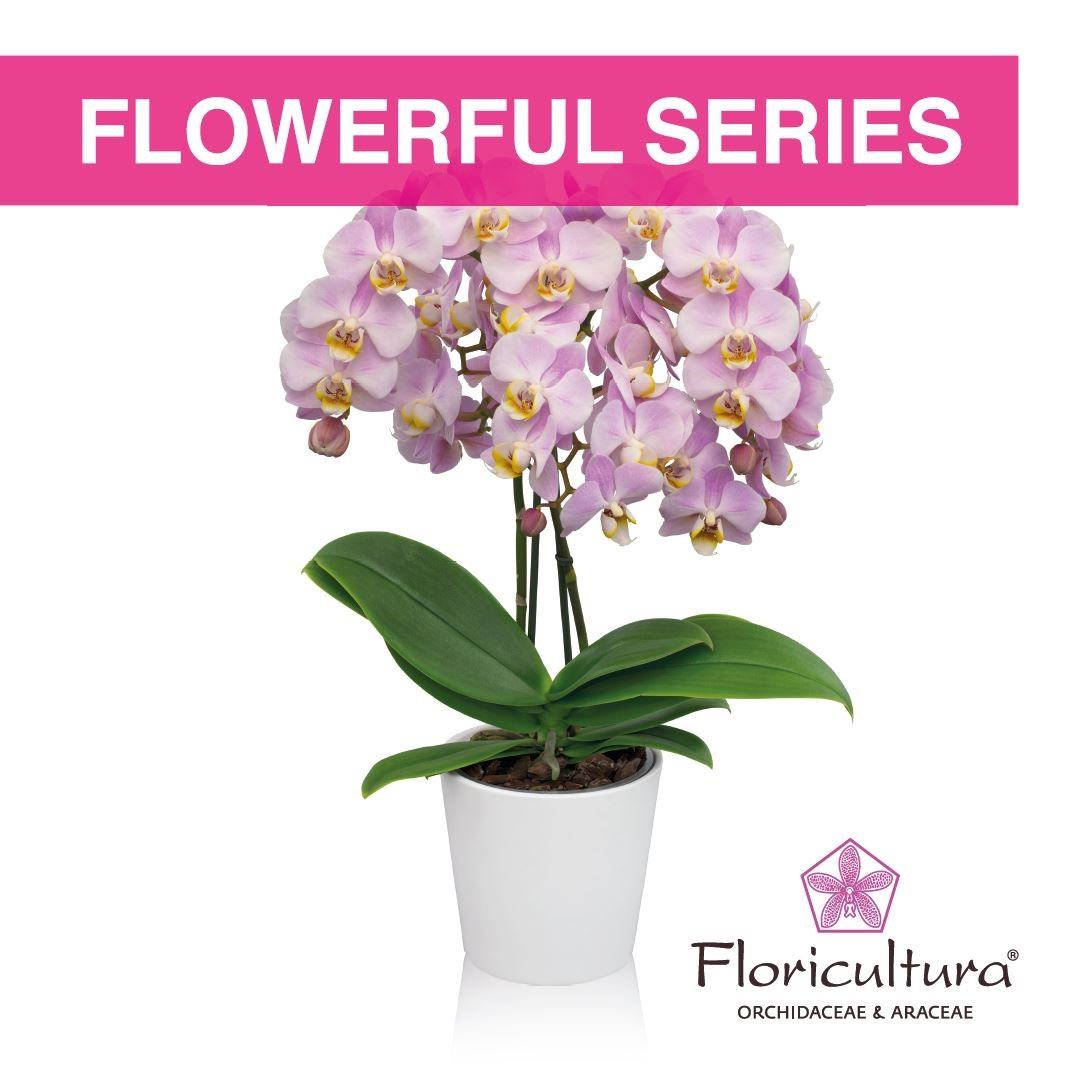 Floricultura introduces the Phalaenopsis Flowerful series
